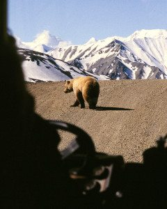 King of the Road. Grizzly bear viewed through front window of bus in Denali National Park, Alaska.