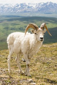 Dall sheep ram on Primrose Ridge, Denali National Park, Alaska. Hike 8.