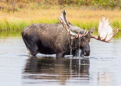 Bull Moose in Pond