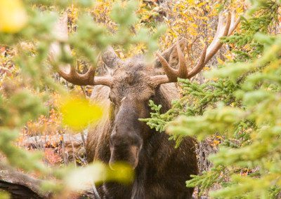 Bull moose in forest