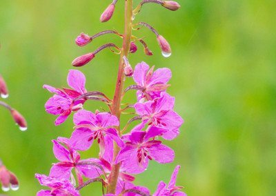 Fireweed with water drops