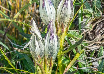 Whitish Gentian