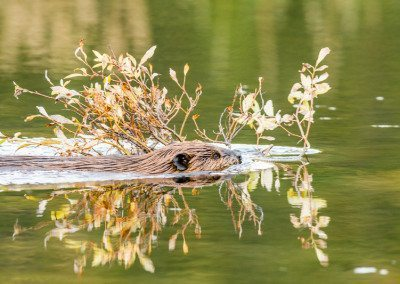 Beaver swimmin with tree branch