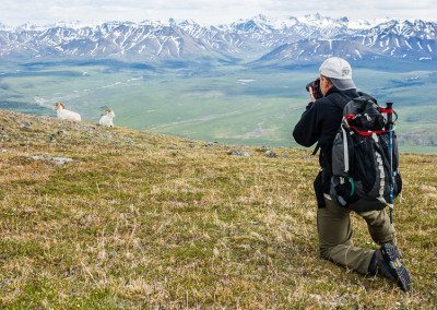 Dall sheep ram and photographer