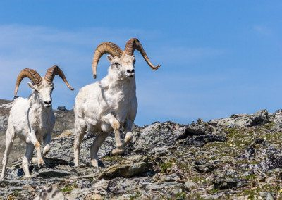 Dall sheep rams