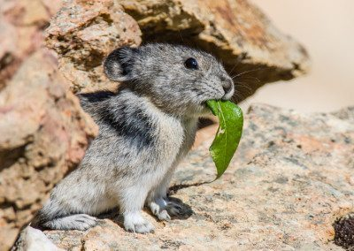 Collared Pika with leaf